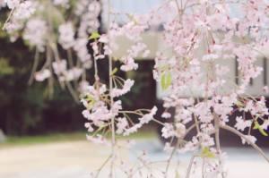 Sakura flower Nijo-jo japlanning Japan Kyoto