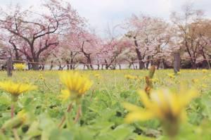 Sakura Dandelions Nijo-jo Castle Kyoto Japan travel freelance writer
