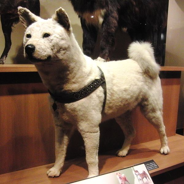Hachiko – the loyal Akita dog | JaPlanning