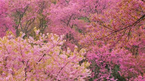 JaPlanning Journeys of Distinction Japan British Guide Sakura